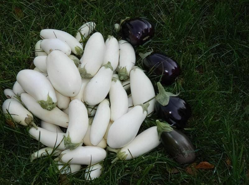 Білі і сині баклажани на траві
