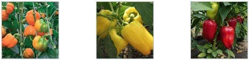 Чим підживити перці для росту в теплиці: вибір добрива 2