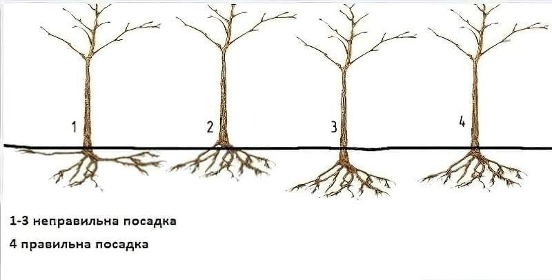 Правила посадки груші
