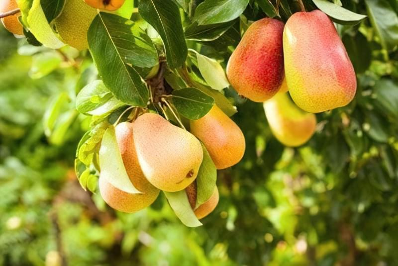 Літній сорт груші Дюшес