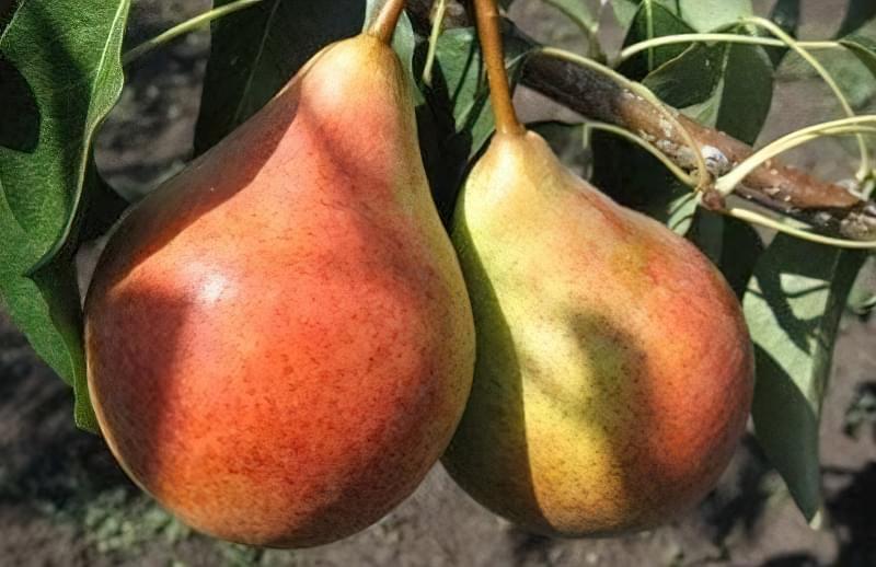 Опис та правила вирощування груші Дюшес 1