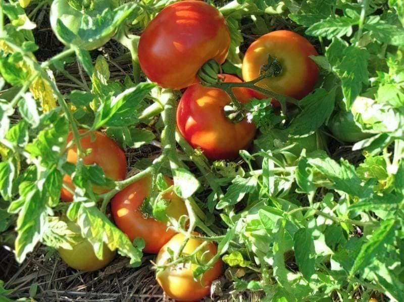 Фото томатів сорту Скороспілка