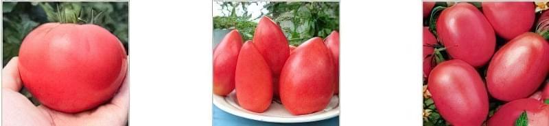 Кращі сорти низькорослих томатів для відкритого грунту 2