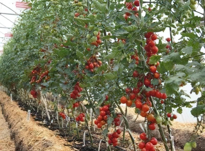 Індетермінантні томати у відкритому грунті