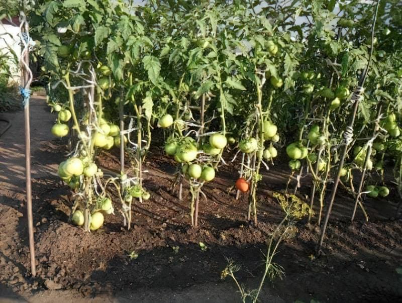 Вирощування томатів у відкритому грунті