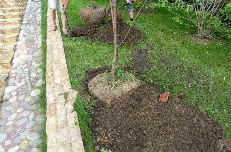 Пересадка - стрес для дерева