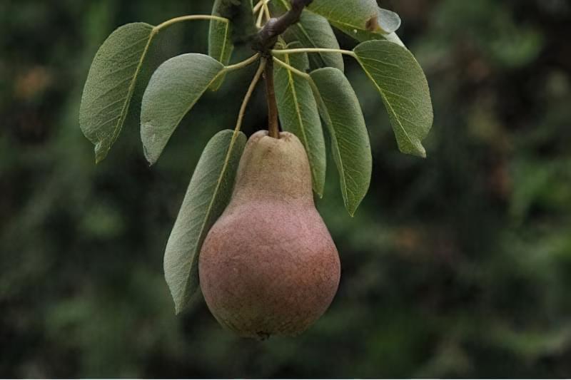 На який рік після посадки цвіте і плодоносить груша 1