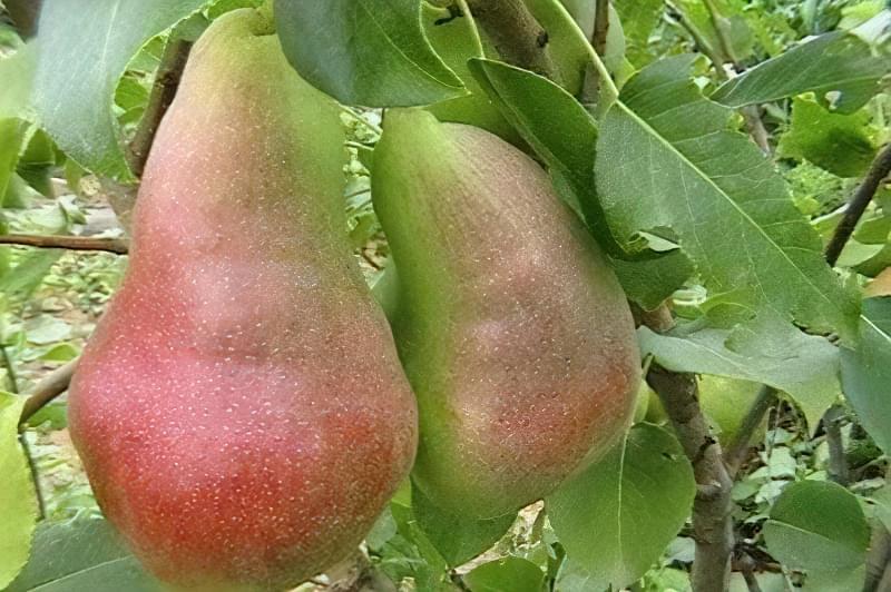 Плоди груші Перун в середньому важать 140-180 г