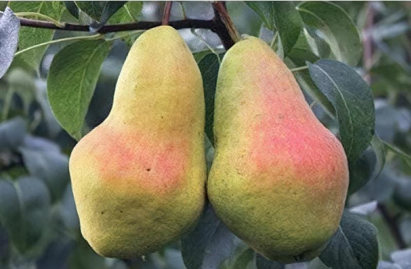 Опис пізньоосіннього сорту груші Перун 1