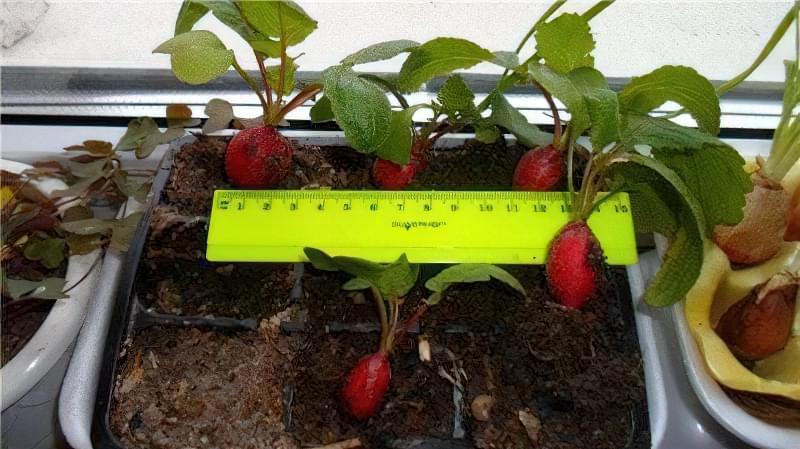 Редиска на балконі – відмінний спосіб виростити овоч