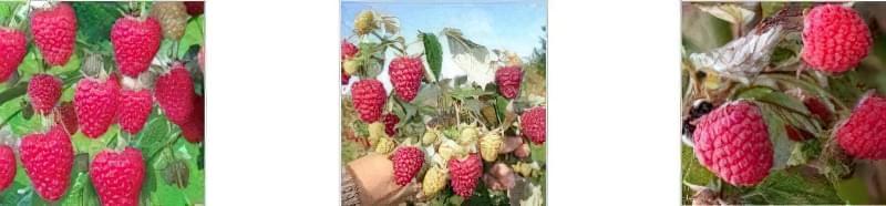 Урожай стиглої малинки на кущі Урожай малини на кущі влітку Урожай малини на кущі
