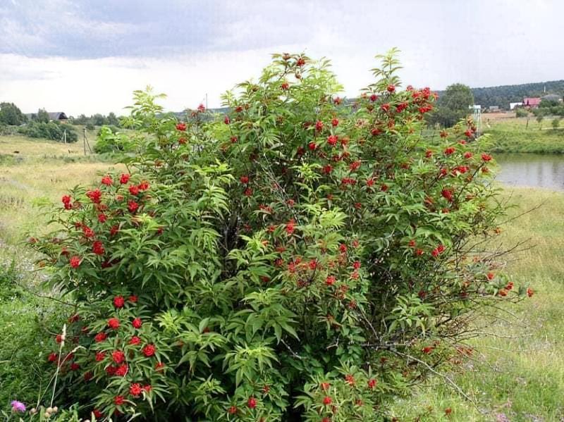 Кущ червоної малини в саду
