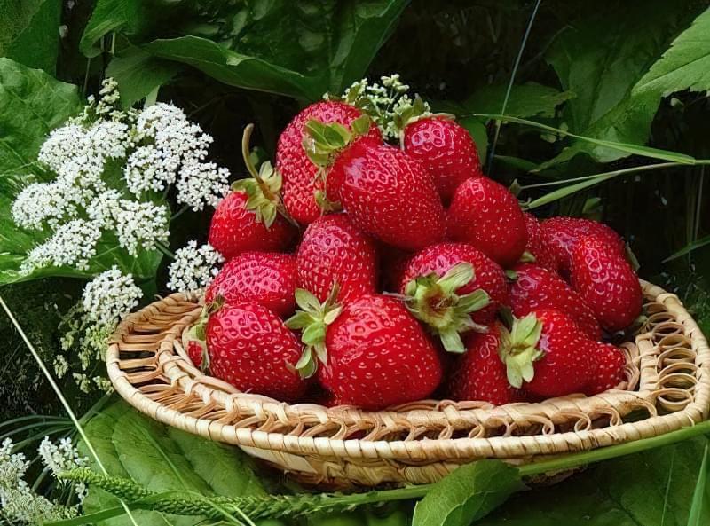 Азія – урожайна і смачна італійська полуниця 1