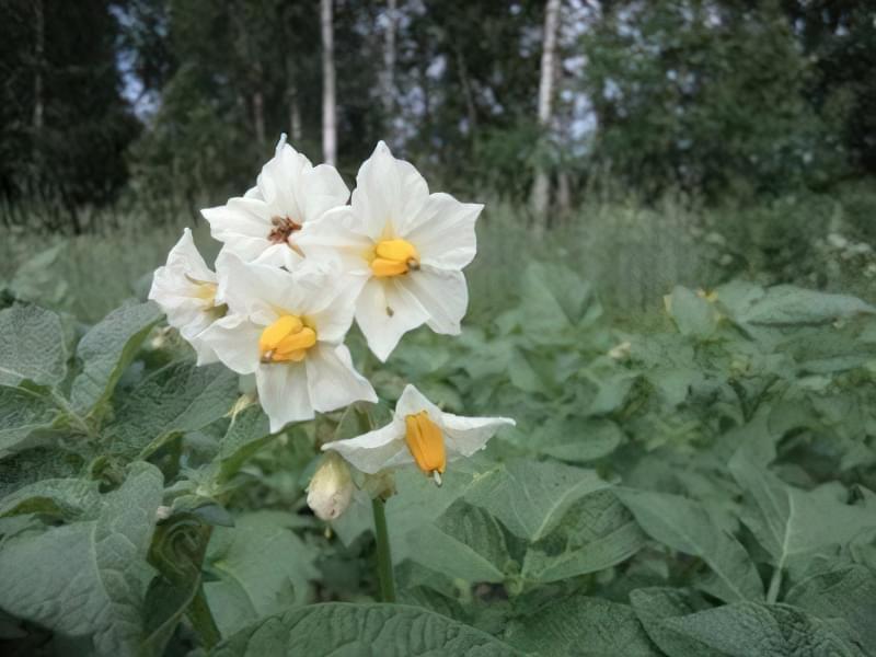 Квітки картоплі на грядці
