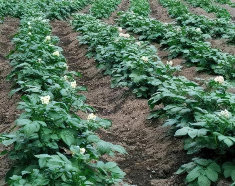 Картопля, що росте на грядці