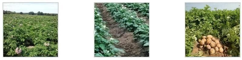 Технологія вирощування картоплі з насіння 1