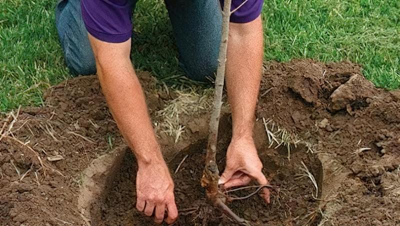 Посадка дерева в підготовлену яму
