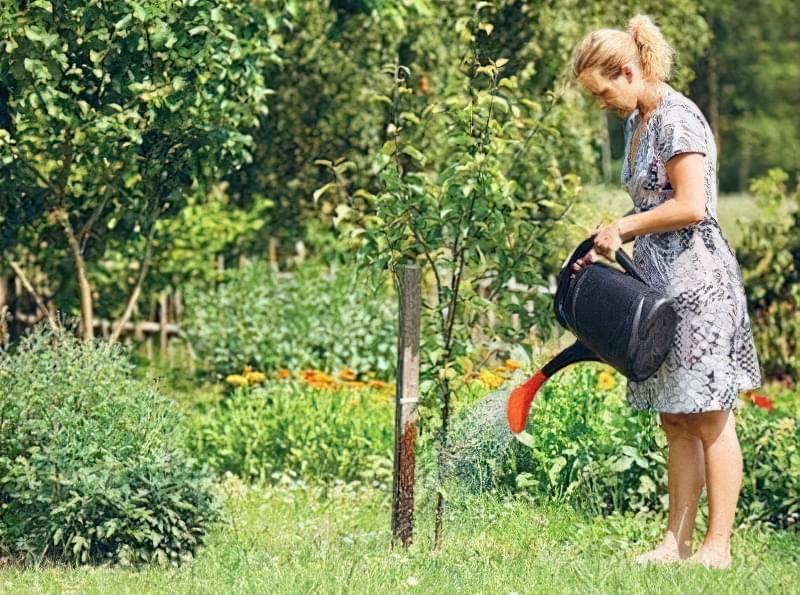 Щойно посаджене дерево поливають щотижня