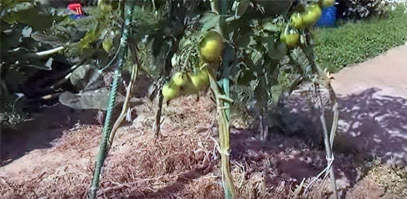 Як збільшити врожай томатів: перевірений спосіб 3