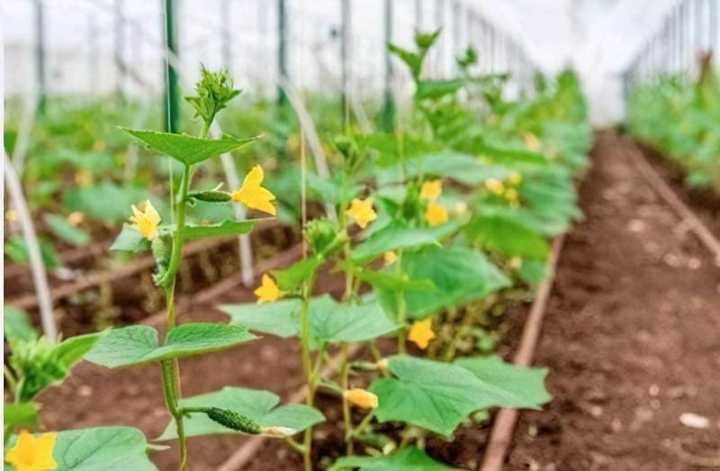 Вирощування і догляд за огірками в теплиці з полікарбонату 1