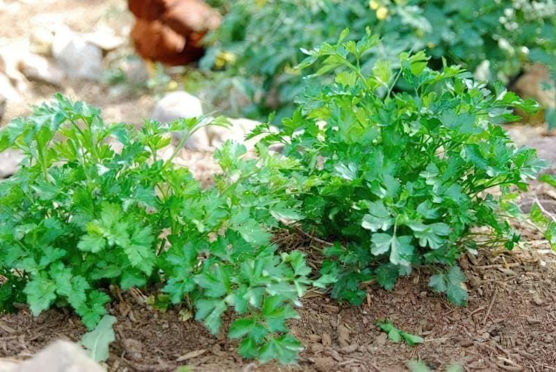 Вирощування петрушки листової