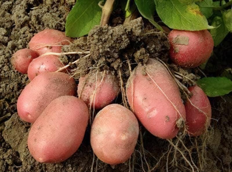 Бульби молодої картоплі