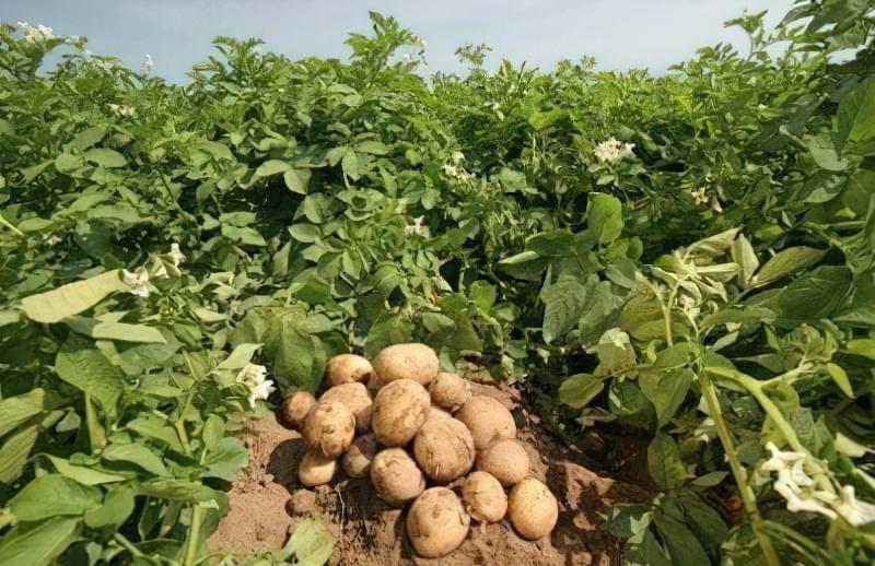 Урожай картоплі на полі