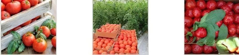Кращі сорти томатів, стійких до хвороб 1