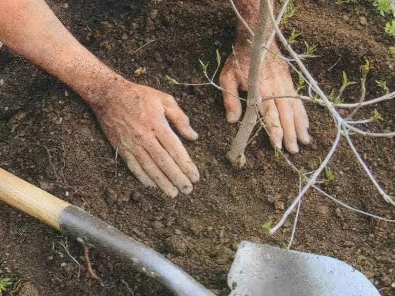 Гібриди рекомендується висаджувати попарно