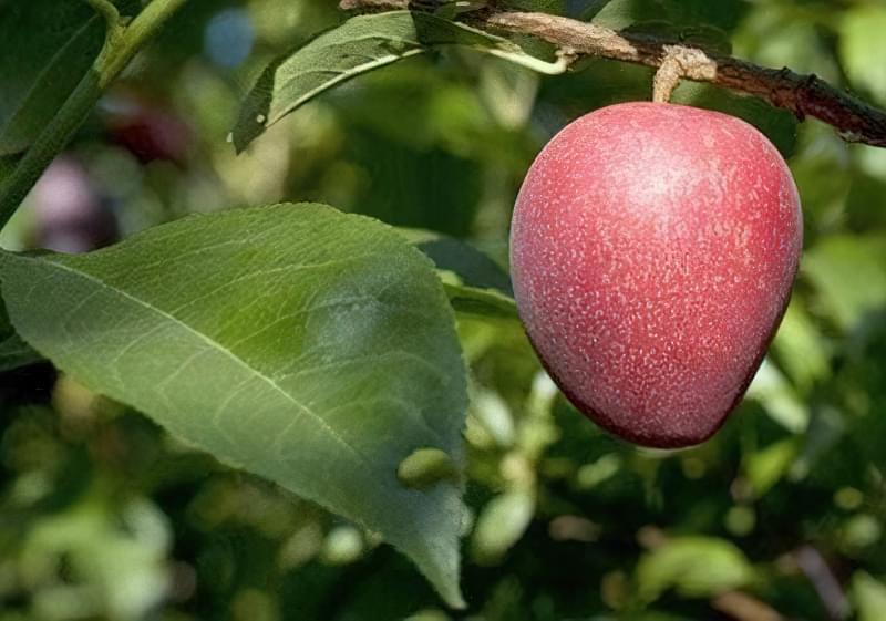 Опис і популярні сорти гібриду вишні і сливи 1