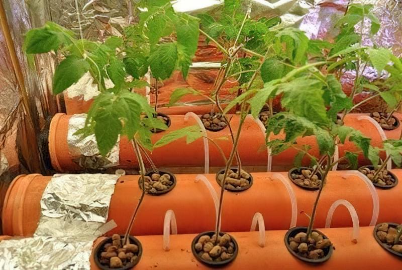 Плюси і мінуси вирощування томатів на гідропоніці 1