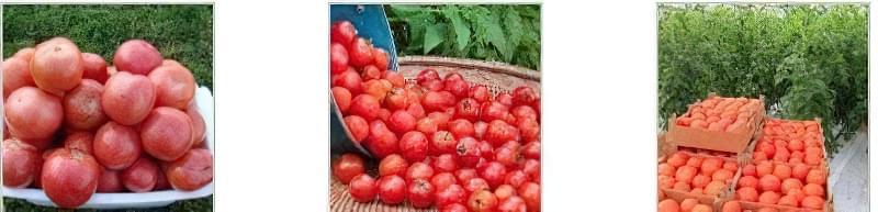 Причини появи і способи усунення коричневих плям на листках помідорів 2