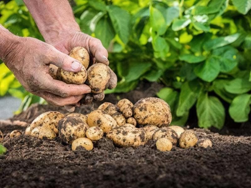 Велика і дрібна картопля