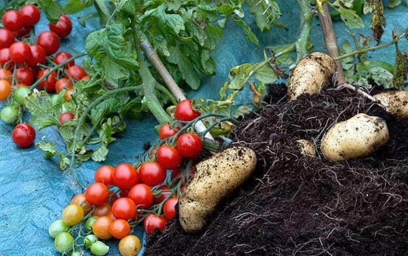 Сівозміна після картоплі: що посадити? 2