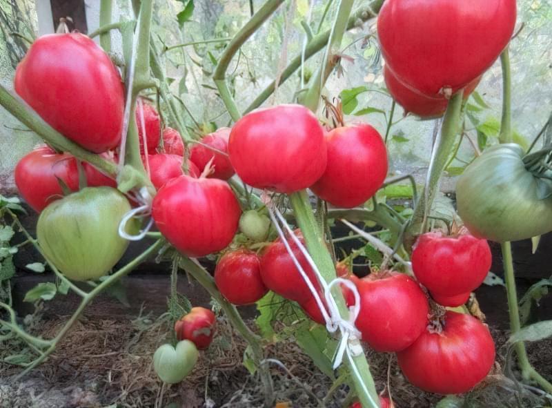 "Сорт томатів ""Данко"""