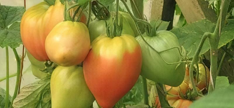 Гілка помідор Ельдорадо