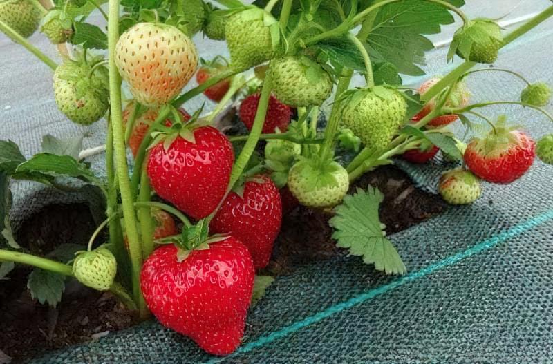 Вирощування полуниці за голландською технологією: поради професіоналів 2