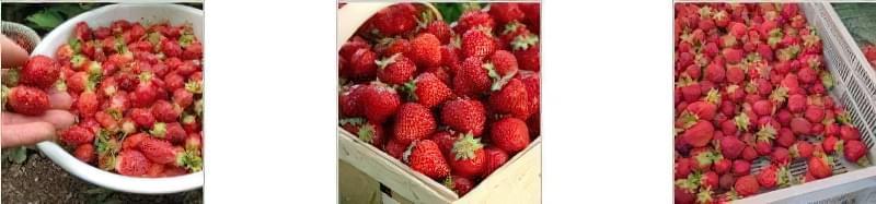 Вирощування полуниці за голландською технологією: поради професіоналів 3