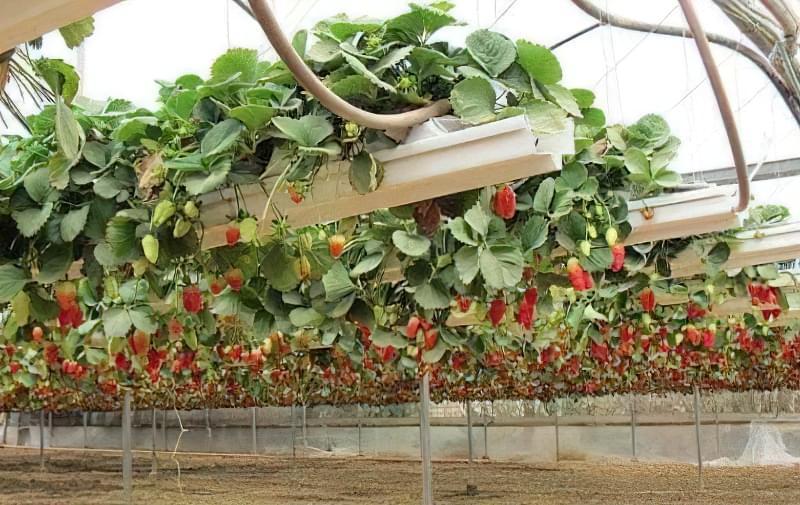 Вирощування полуниці за голландською технологією: поради професіоналів 1