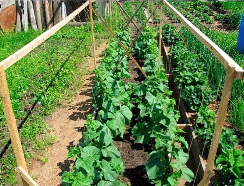 Огірки люблять рясний полив