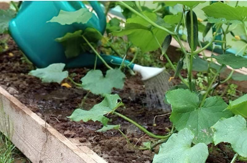 Прикореневій полив тепличних огірків