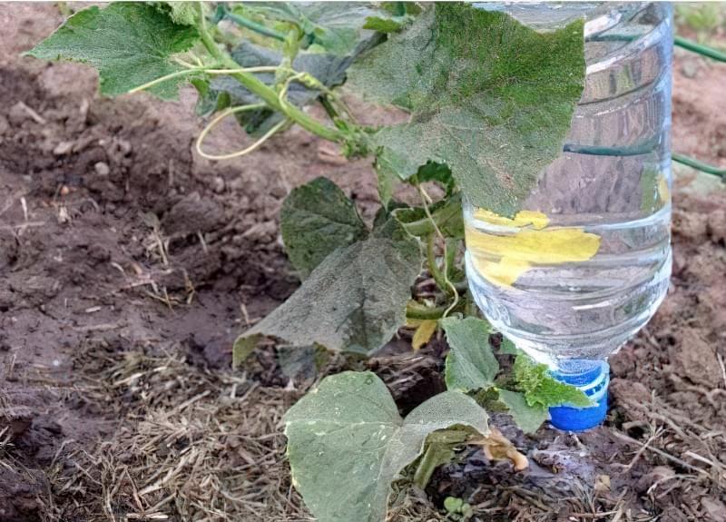 Пластикова пляшка дозволяє контролювати норму поливу огірків