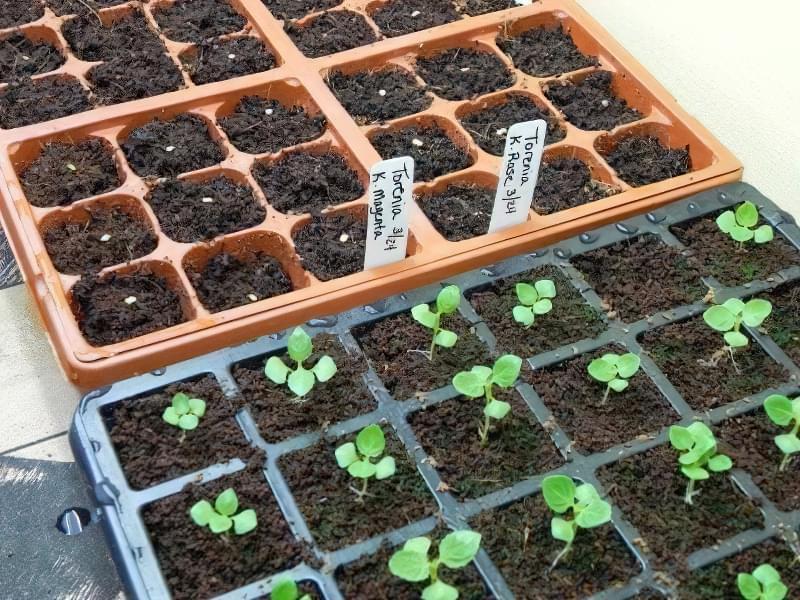 Як вирощувати торенію з насіння? 2