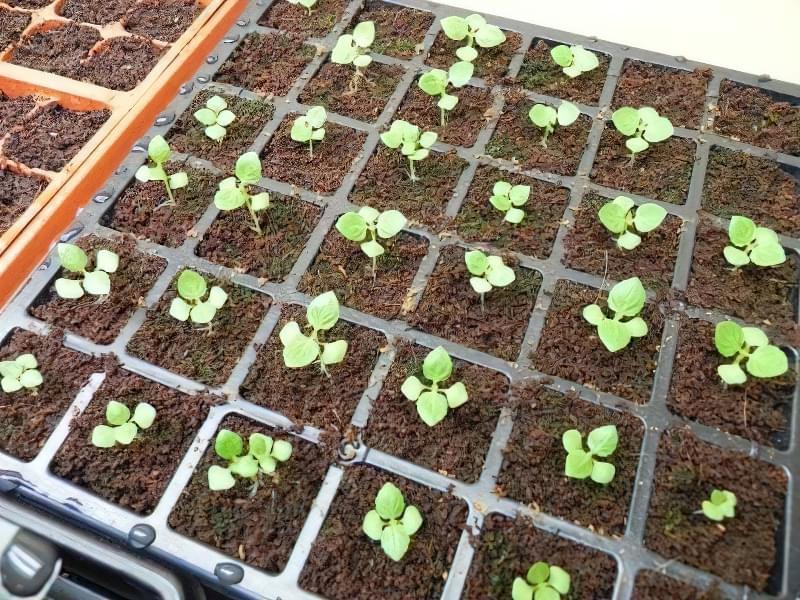 Як вирощувати торенію з насіння? 3