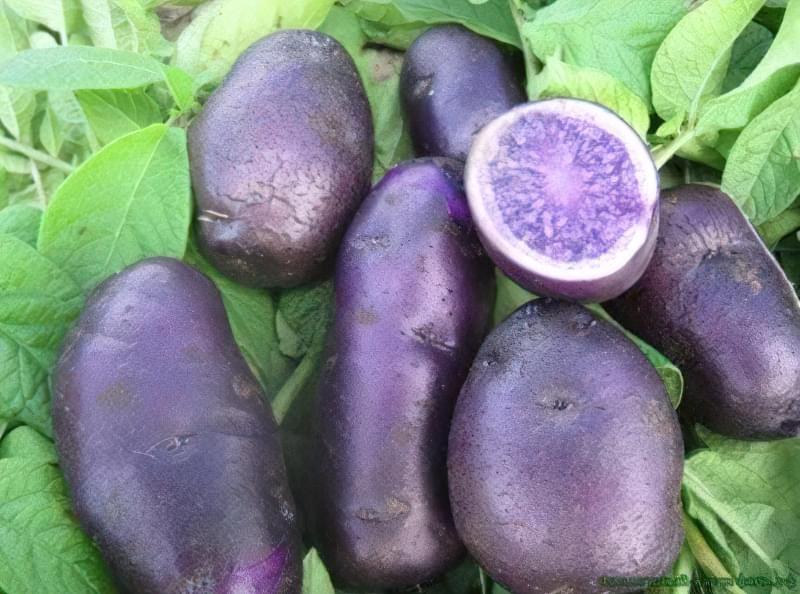Як виростити фіолетову картоплю в себе на городі? 2