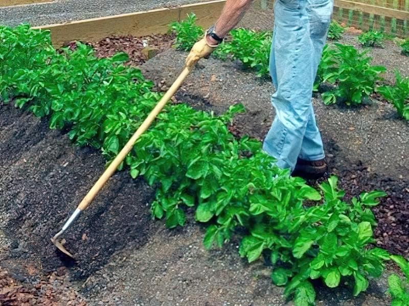 Як виростити фіолетову картоплю в себе на городі? 6