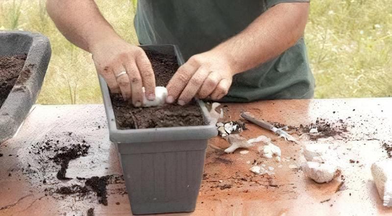 Як виростити хороший урожай часнику вдома 2