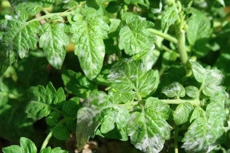 Борошниста роса на листі томату