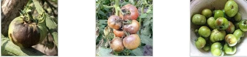 Чому біліє листя на розсаді помідорів: основні причини 2