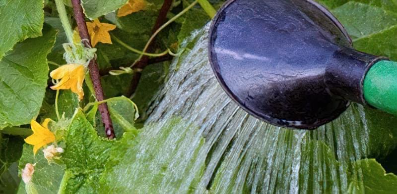 Чому огірки гіркі: що робити і як запобігти гіркоті при вирощуванні 2